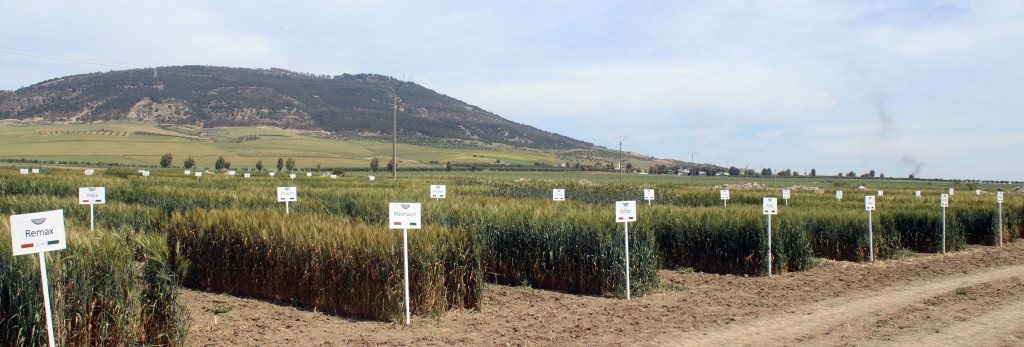 Essais Cartographie des blés